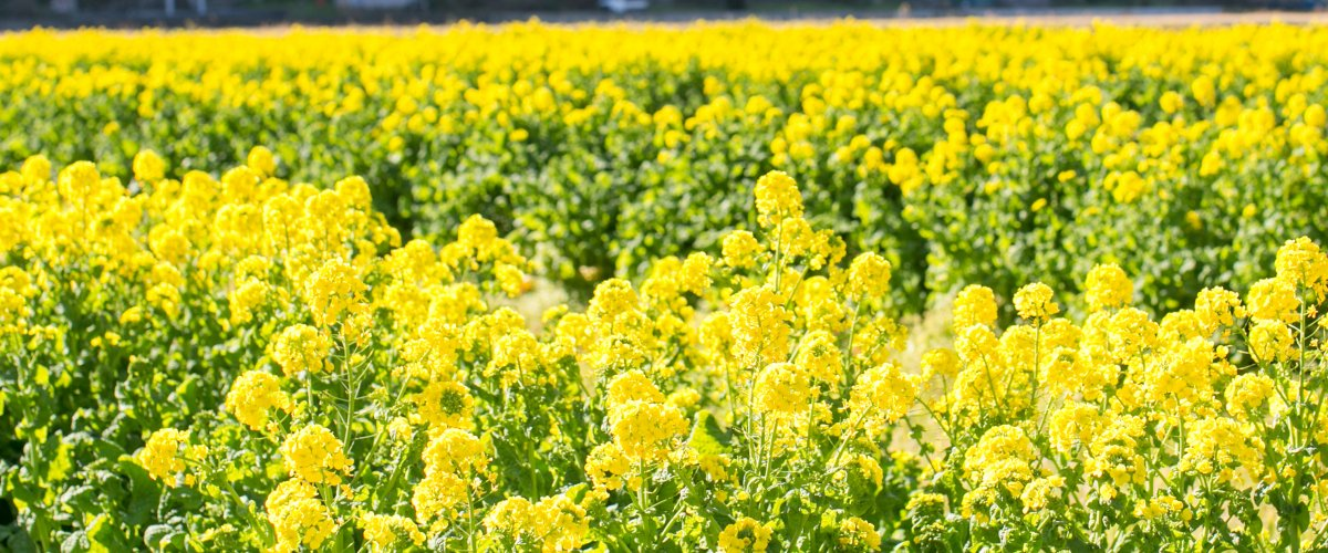 畑 菜の花